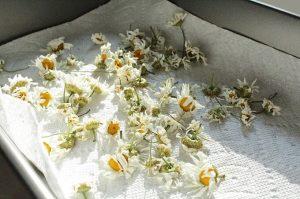 ハーブの乾燥:自然乾燥の場合2
