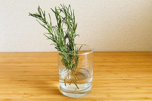 ローズマリーを水に挿して保存する1